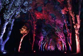 幻想的に浮かび上がったクスノキ並木(京都市左京区・府立植物園)