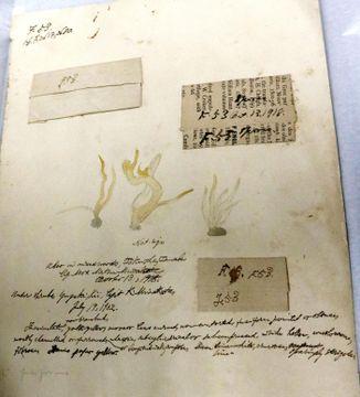 新たに確認された菌類図譜(国立科学博物館所蔵)