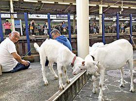 JR戸塚駅そばで飼育されている命(手前右)と子ヤギを飼育する片山さん(左)。駅ホームからも2頭の様子を確認でき、写真を撮影する人も少なくない=横浜市戸塚区