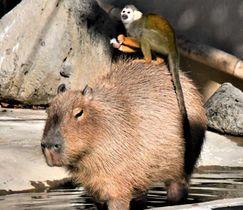 東武動物公園「リスザルの楽園」でカピバラの背に乗るリスザル
