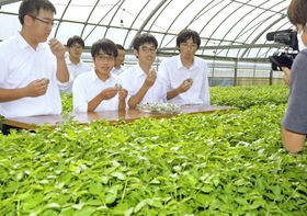水耕栽培のハウスでセリ料理の試食シーンの撮影に臨む窪川高生たち(四万十町天ノ川)