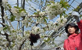 ハウス内で盛んに行われている、サクランボの花々への授粉作業=22日午前、南部町大向