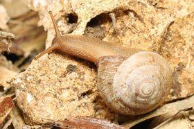 国内希少野生動植物種への追加方針が示された「オオアガリマイマイ」(自然環境研究センター提供)
