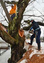 桜の剪定を手際よく進める弘前市公園緑地課の職員ら=19日、弘前公園下乗橋近く