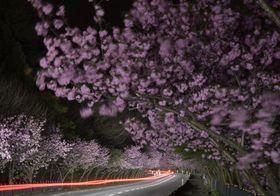 車のヘッドライトで闇に浮かんだ桜並木。走り抜けた車が赤い光跡を描いた=9日未明、青森市横内(高感度で約1分半露光)