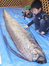 富山湾沿岸で見つかり、魚津水族館に運ばれた深海魚「リュウグウノツカイ」=14日、富山県魚津市