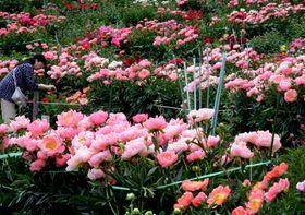 色とりどりのシャクヤクが咲き競う園内
