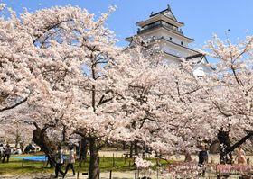 天守閣を彩るように咲き競い、観光客を魅了する鶴ケ城本丸周辺の桜=18日午前10時40分ごろ