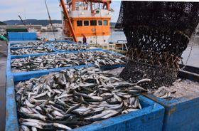 巻き網船が漁獲し水揚げされるマイワシ。継続的な活況が期待される