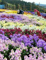 色とりどりの花が咲き誇る主会場のメイン花壇=長島町指江のサンセットの丘