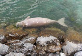 沖縄県今帰仁村沖合で漂流していたジュゴンの死骸=18日(今帰仁漁業協同組合提供)