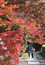 日差しを受けて輝くヤマモミジ=19日午後、川西市満願寺町