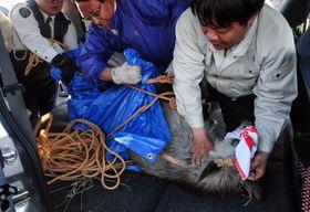 十和田市の市街地に出没した後、捕獲され車両に載せられるニホンカモシカ=22日午後5時10分ごろ、同市
