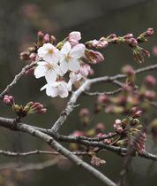 東京・靖国神社境内で開花した標本木のソメイヨシノ=21日午前
