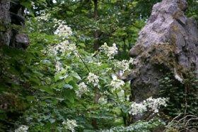 奇岩の間に咲くノリウツギ