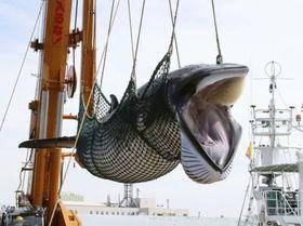 9月、北海道釧路港で水揚げされるミンククジラ