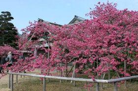満開となった旧鍋島家住宅のヒカンザクラ