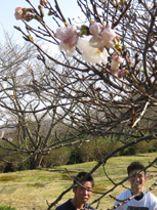 つぼみが開き始めた戦場ケ原公園のサクラ=23日、下関市