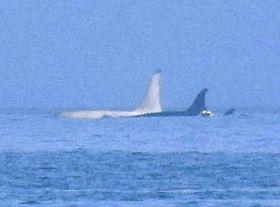 北海道羅臼町沖で16日に確認された白いシャチ。背びれ上部が黒く見えるのは光の加減で、実際には白いという(大泉宏・東海大教授提供)