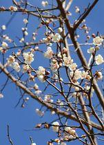 青空に映える「冬至梅」の花