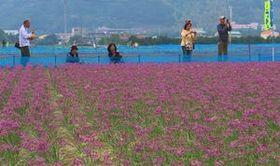 徳島・鳴門市の大毛島でラッキョウの花まつり