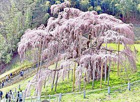 〔ふくしま・さくらだより〕三春滝桜 薄紅色まとう荘厳見ごろ