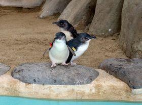 東京の葛西臨海水族園から借り入れた3羽のコガタペンギン=長崎ペンギン水族館