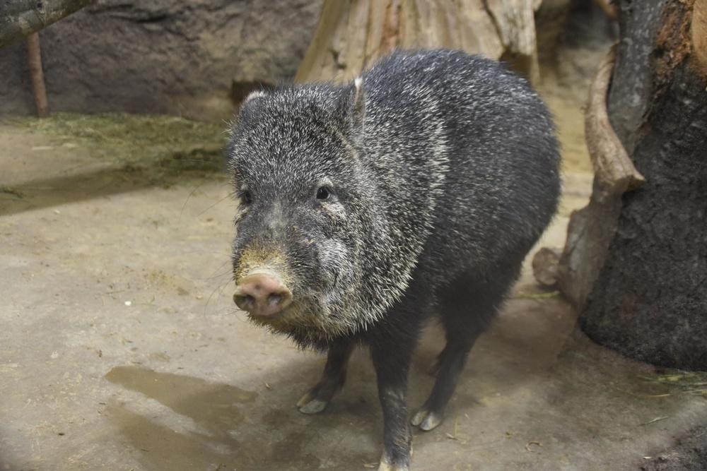 なんでもよく食べるクビワペッカリー。動物園では果物、野菜、干し草などがご飯だ