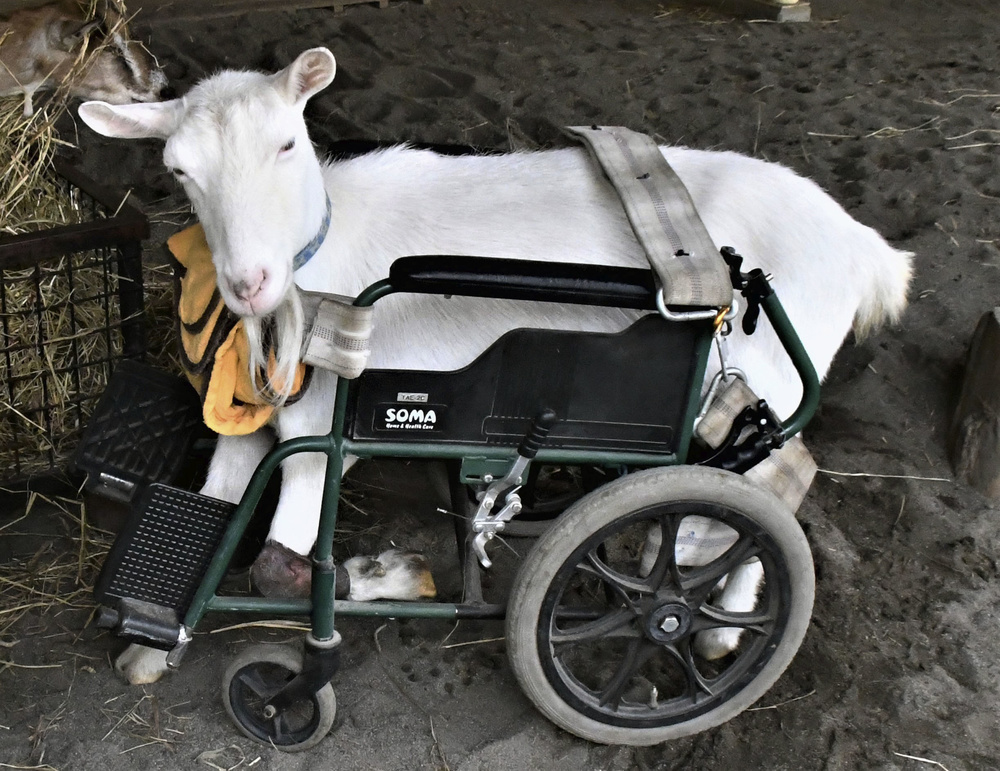 車いすに乗るヤギの「ユズ」。おだやかな顔だ