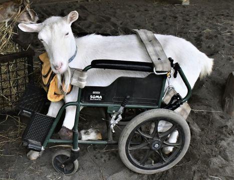 (590)作ってもらった車いすで動けるように   ヤギ