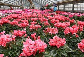 出荷を控え、鮮やかな色の花を咲かせるシクラメン=薩摩川内市高江町