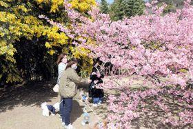 河津桜とミモザの競演を楽しむ来場者=小豆島町安田