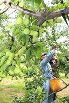 特産の梅を収穫する生産者=17日、田上町