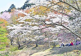 〔ふくしま・さくらだより〕半田山自然公園 桜もうすぐ見ごろ