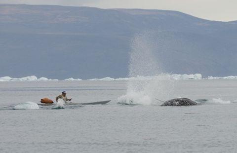 「ルポ・北極圏」 北極海にイッカクを追う  イヌイットの伝統猟