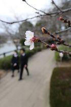 開花したソメイヨシノ=大村市、大村公園