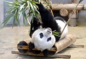 母親のシンシンと終日別居して過ごすシャンシャン=10日、東京・上野動物園(東京動物園協会提供)