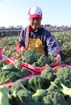 ブロッコリーを収穫する本多部会長=雲仙市吾妻町
