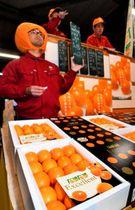 県内外の市場で一斉に解禁された完熟きんかん「たまたま」の初競り=15日午前、宮崎市・宮崎中央卸売市場