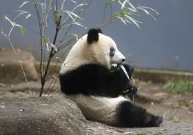 独り立ちのため、母親と離れて暮らし始めたジャイアントパンダの子ども、シャンシャン=13日午前、東京・上野動物園