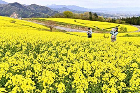 【菜の花】〔ふくしま花だより〕三ノ倉高原の菜の花畑 黄色のじゅうたん
