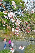 かれんな花を咲かせる梅の花=いわき市常磐白鳥町