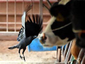 県北部の牛舎に入り込み、羽をばたつかせるカラス(撮影・高橋洋史)