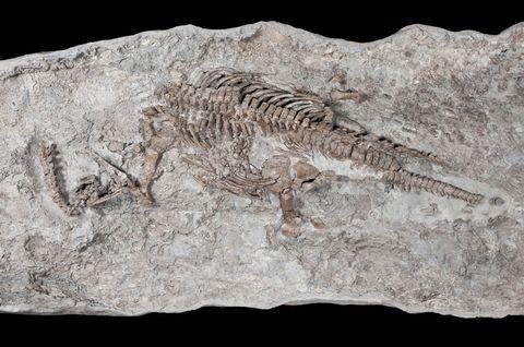 2億年前のドイツの地層から見つかった最古の首長竜の化石(研究チーム提供)