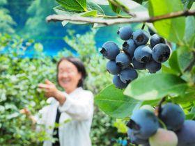 青紫色の果実が熟しているブルーベリー園(福知山市大江町毛原)