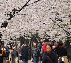 満開となった西堀の桜のトンネル=25日午後、弘前公園