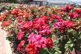 見頃を迎えた鮮やかなバラの花が来園者を楽しませているバラ公園=大野町加納