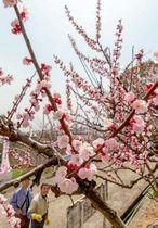 淡いピンクの花を咲かせ始めたアンズ
