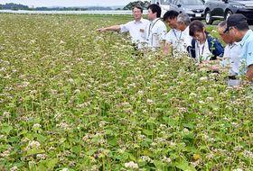 夏ソバ向けの新品種「夏吉」の実証栽培に取り組む十和田市のほ場=18日午後、同市三本木佐井幅