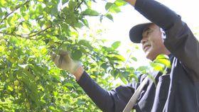 丸々と育った七折小梅の実を丁寧に摘み取る大内祐衣さん=23日午前、砥部町七折